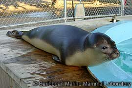 the hooded seal essay How many sea lions are left in the world an estemated 250,00 500,000 sea lions  bearded seal, erignathus barbatus  hooded seal, cystophora cristata.