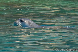 A monk seal sighted near Lefkada.