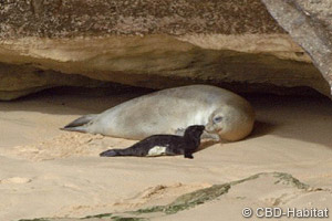Mediterranean monk seal pup born on open beach
