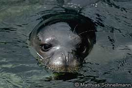 young mediterranean monk seal