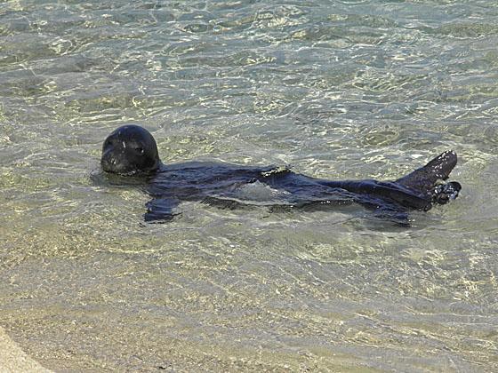 Naxos monk seal pup
