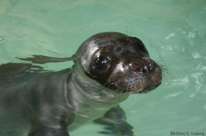 Naxos pup