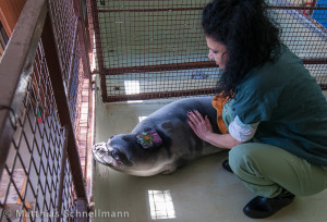 Consultant veterinarian Prof. Anastasia Komnenou gives Andriana a final health check before release, having overseen the application of the satellite tag and flipper identity tag.